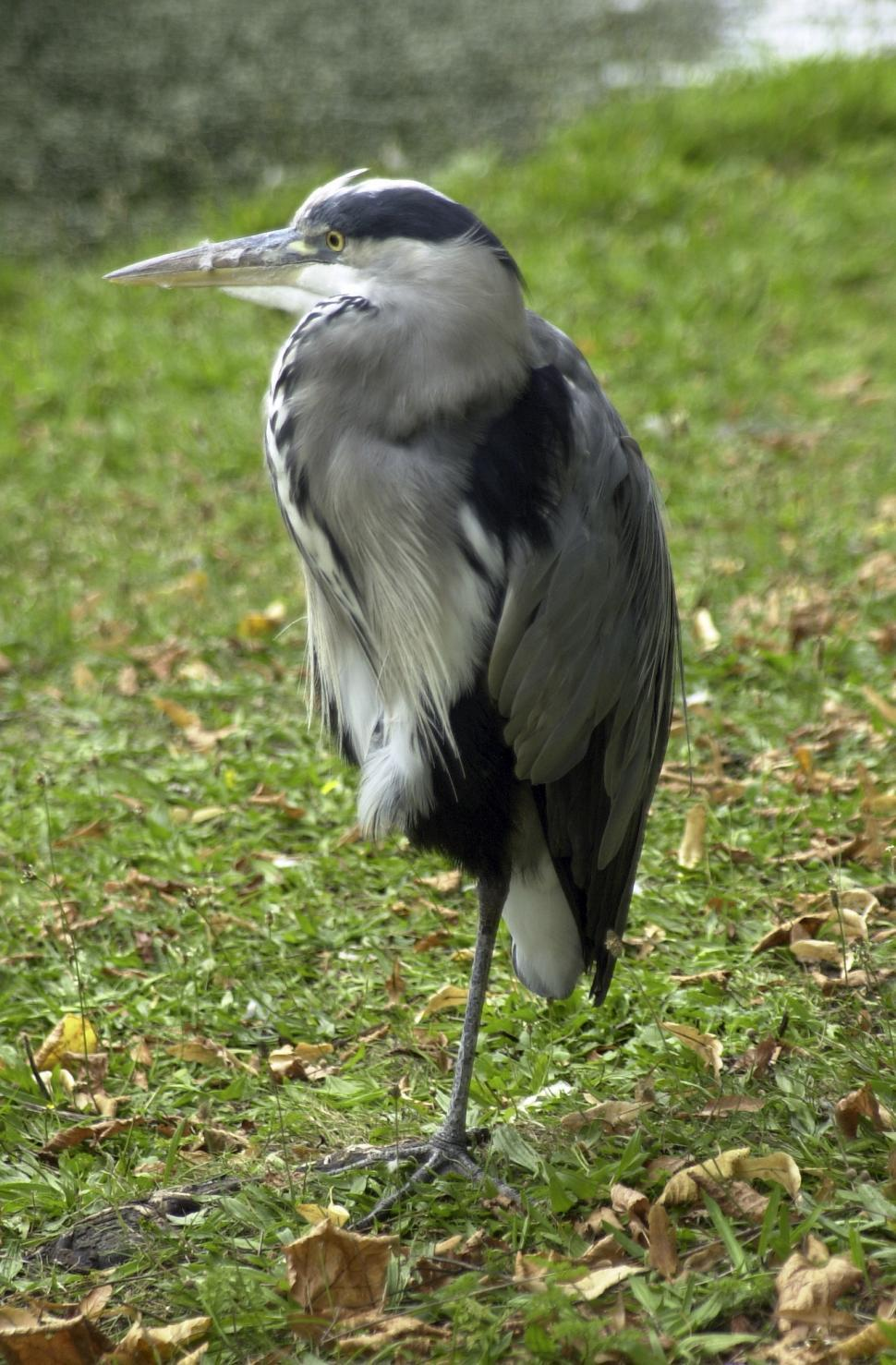 Download Free Stock Photo of Blue Heron