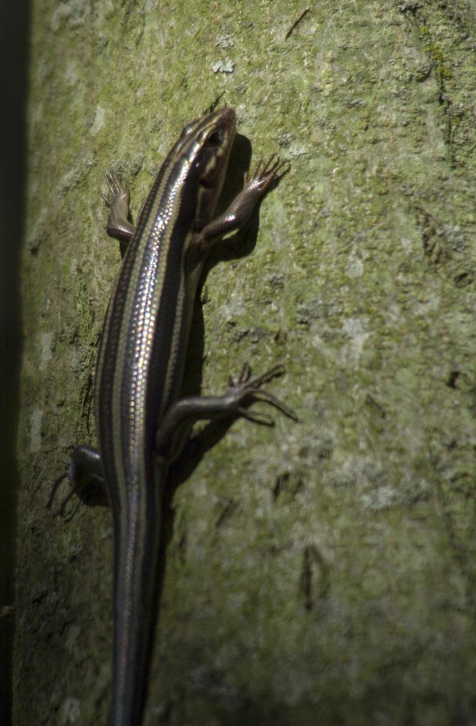 Download Free Stock Photo of Skink lizard