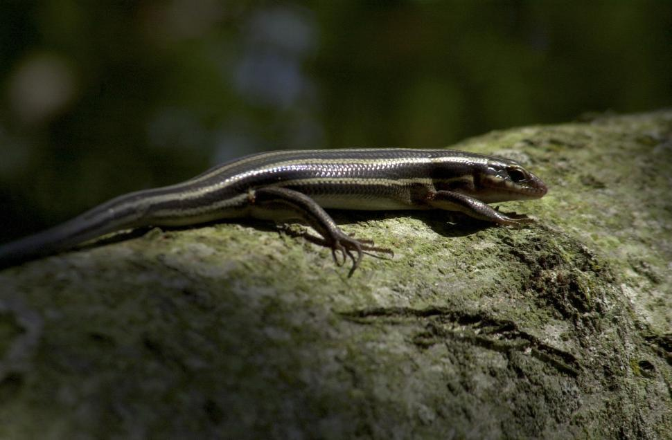 Download Free Stock Photo of Skink lizard