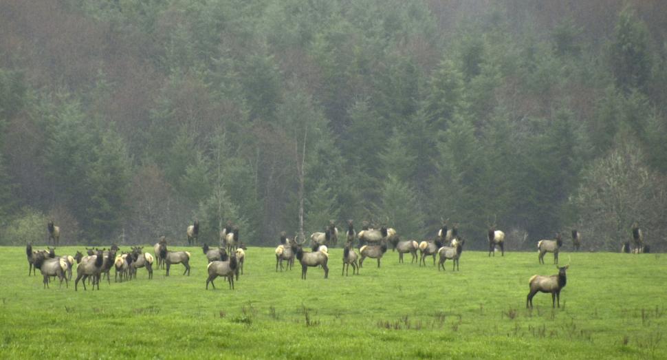 Download Free Stock HD Photo of Roosevelt Elk Online