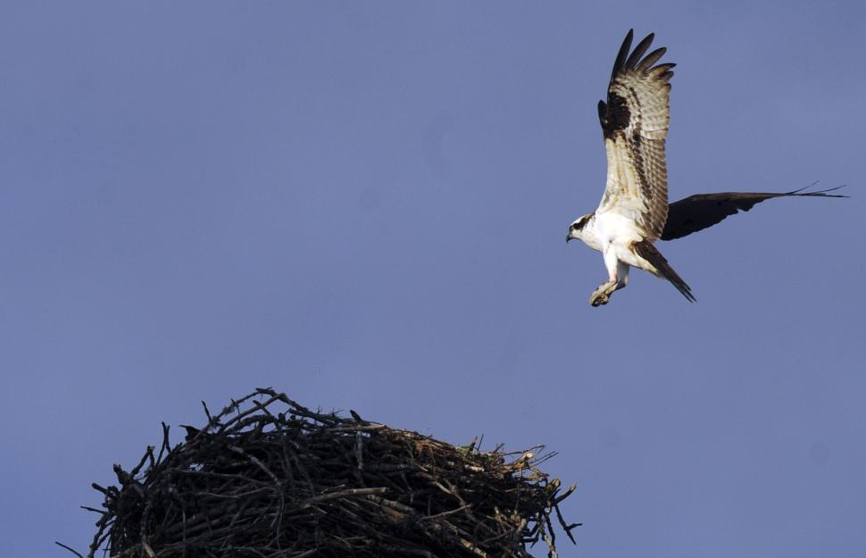 Download Free Stock Photo of Osprey Nest