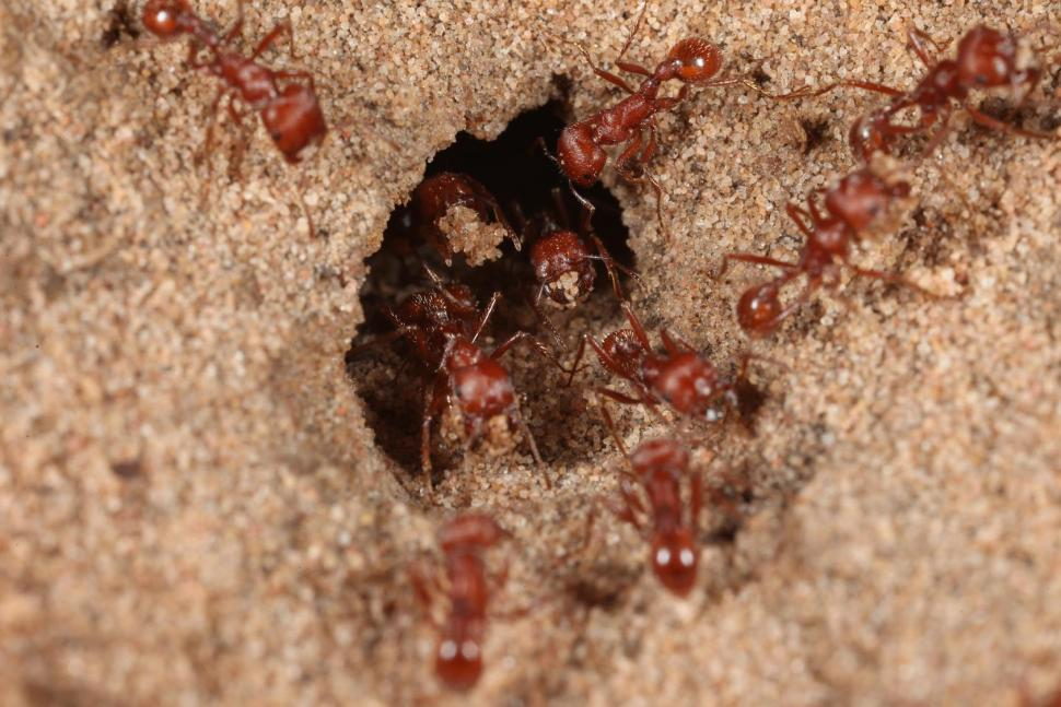 Download Free Stock HD Photo of Red Harvester ants Online