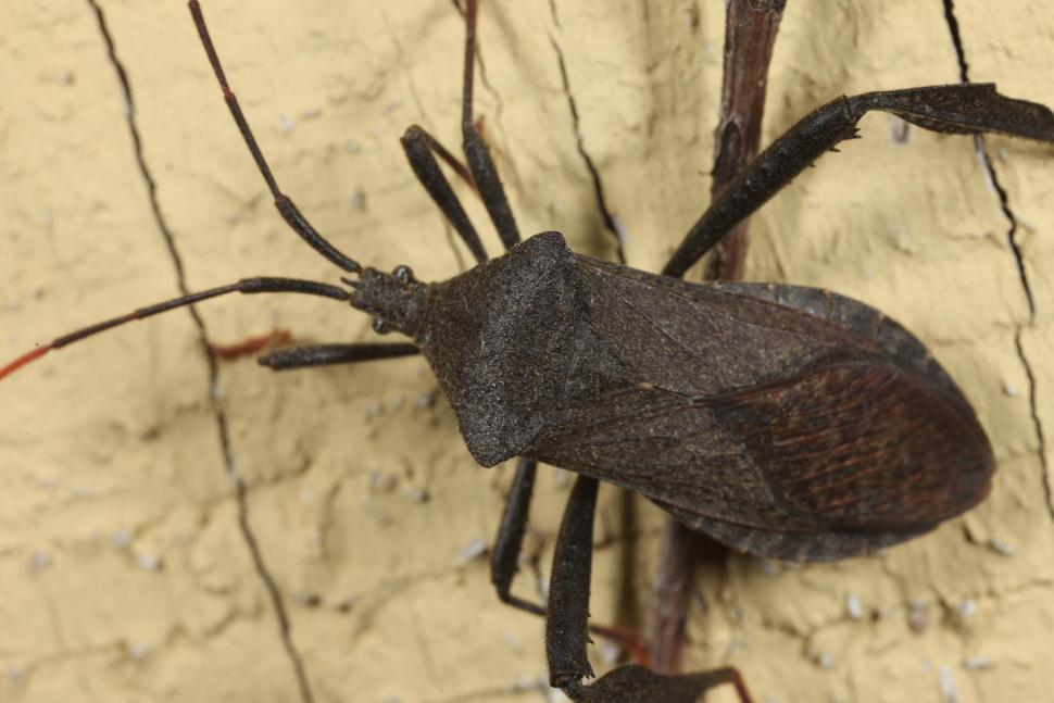 Download Free Stock Photo of Assassin bug