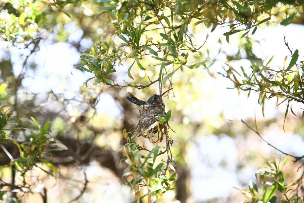 Download Free Stock HD Photo of Hummingbird nest Online
