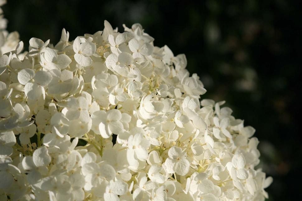 Download Free Stock Photo of Cluster of white flowers