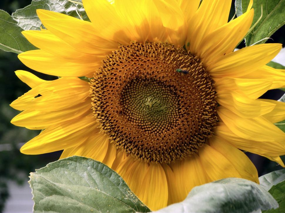 Download Free Stock Photo of Yellow sunflower plant with flower and pollen and a blue bee