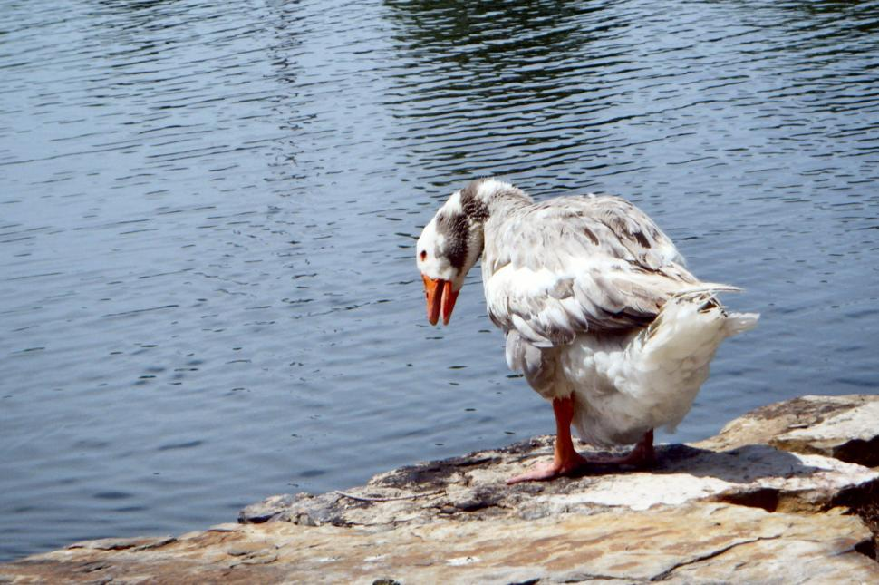 Download Free Stock HD Photo of Very large goose / swan on the side of a pond Online