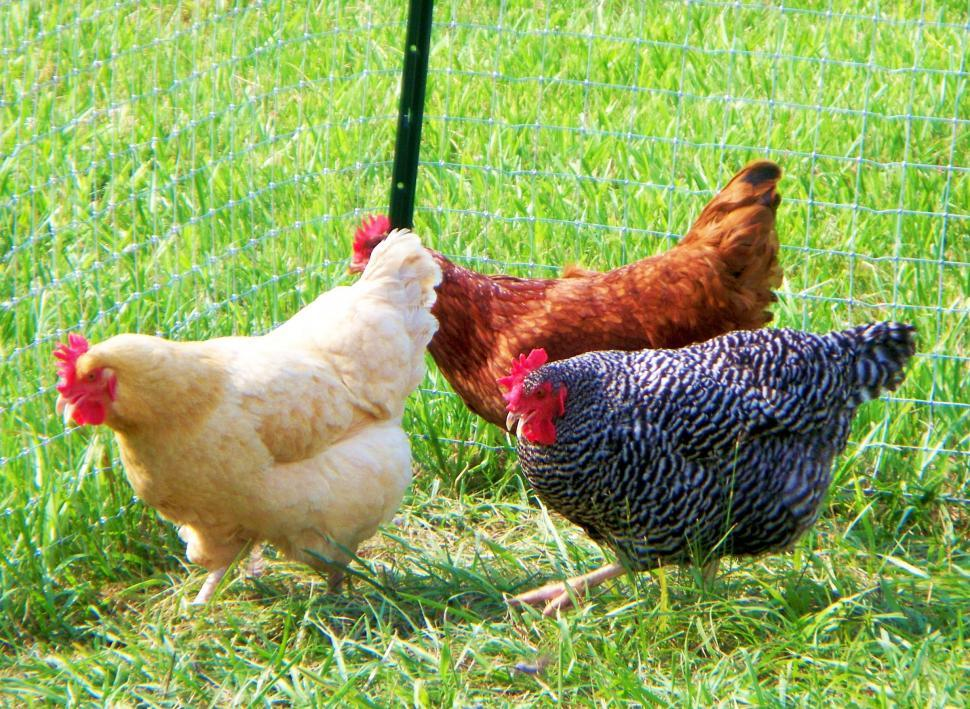 Download Free Stock HD Photo of Three chickens in a fenced field Online