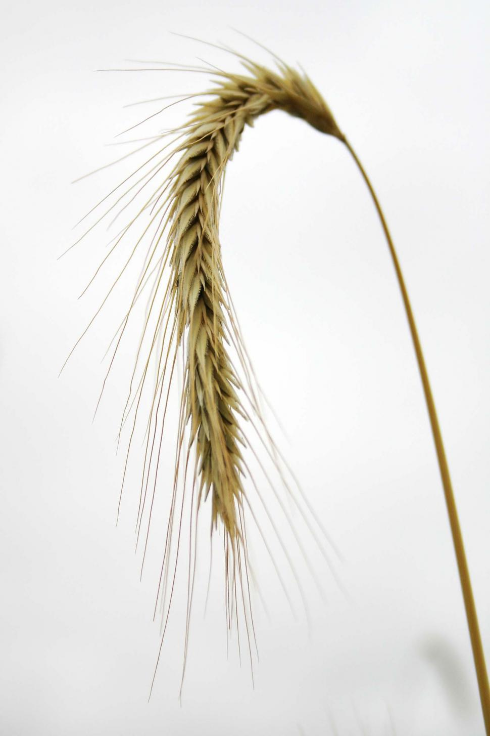 Download Free Stock Photo of Stalk of wheat