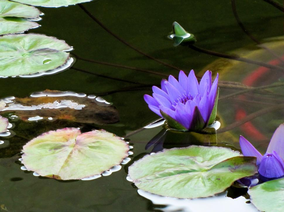 Download Free Stock HD Photo of Water Lillies Online