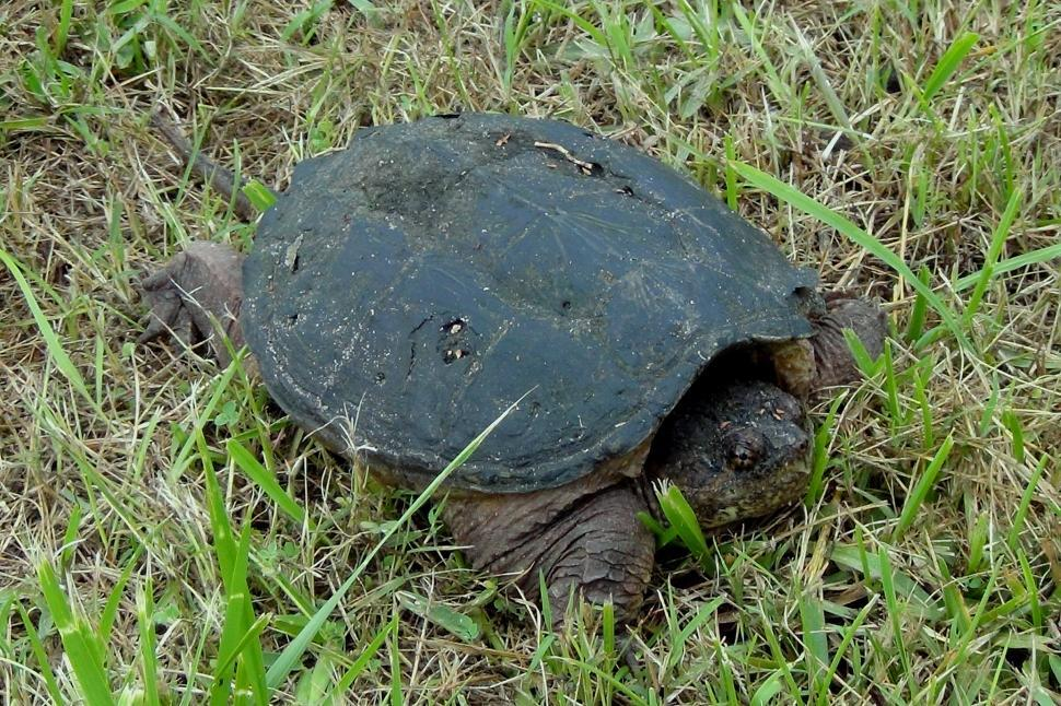 Download Free Stock Photo of Snapping Turtle