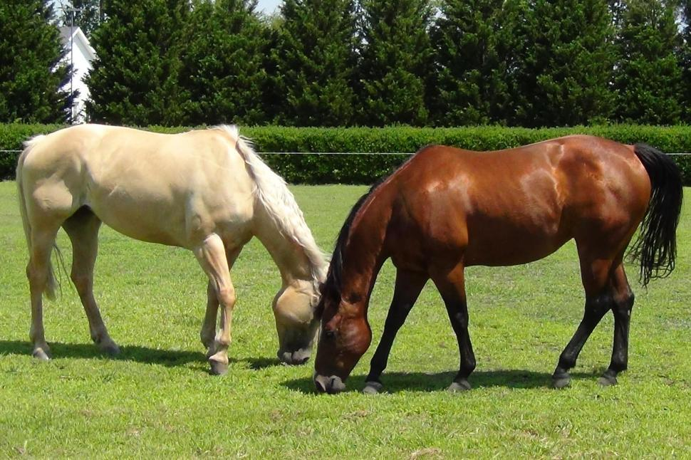 Download Free Stock Photo of Two Horses Dining Together