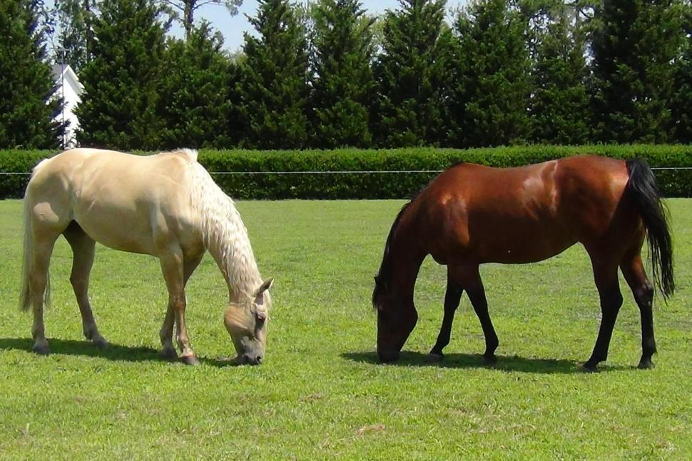 Download Free Stock Photo of Two Horses Munching Lunch