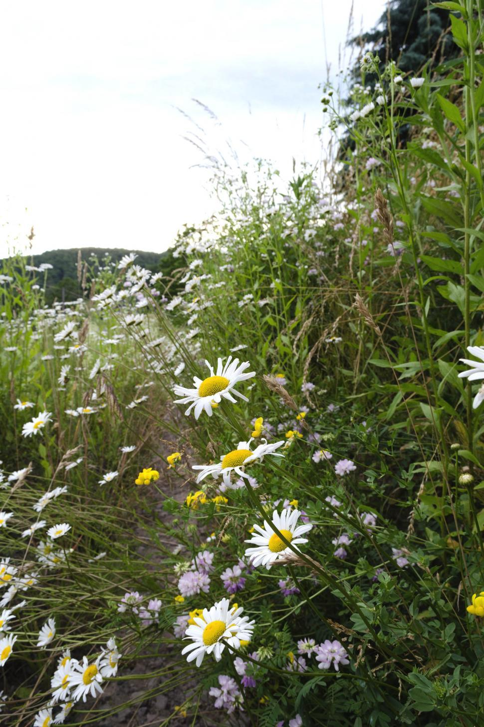 Download Free Stock Photo of Wildflowers along the side of a rural road