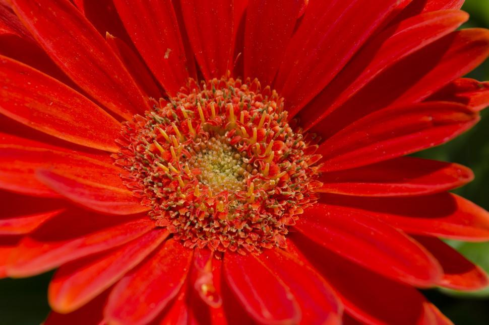 Download Free Stock Photo of Close-up of an Orange Gerbera Daisy