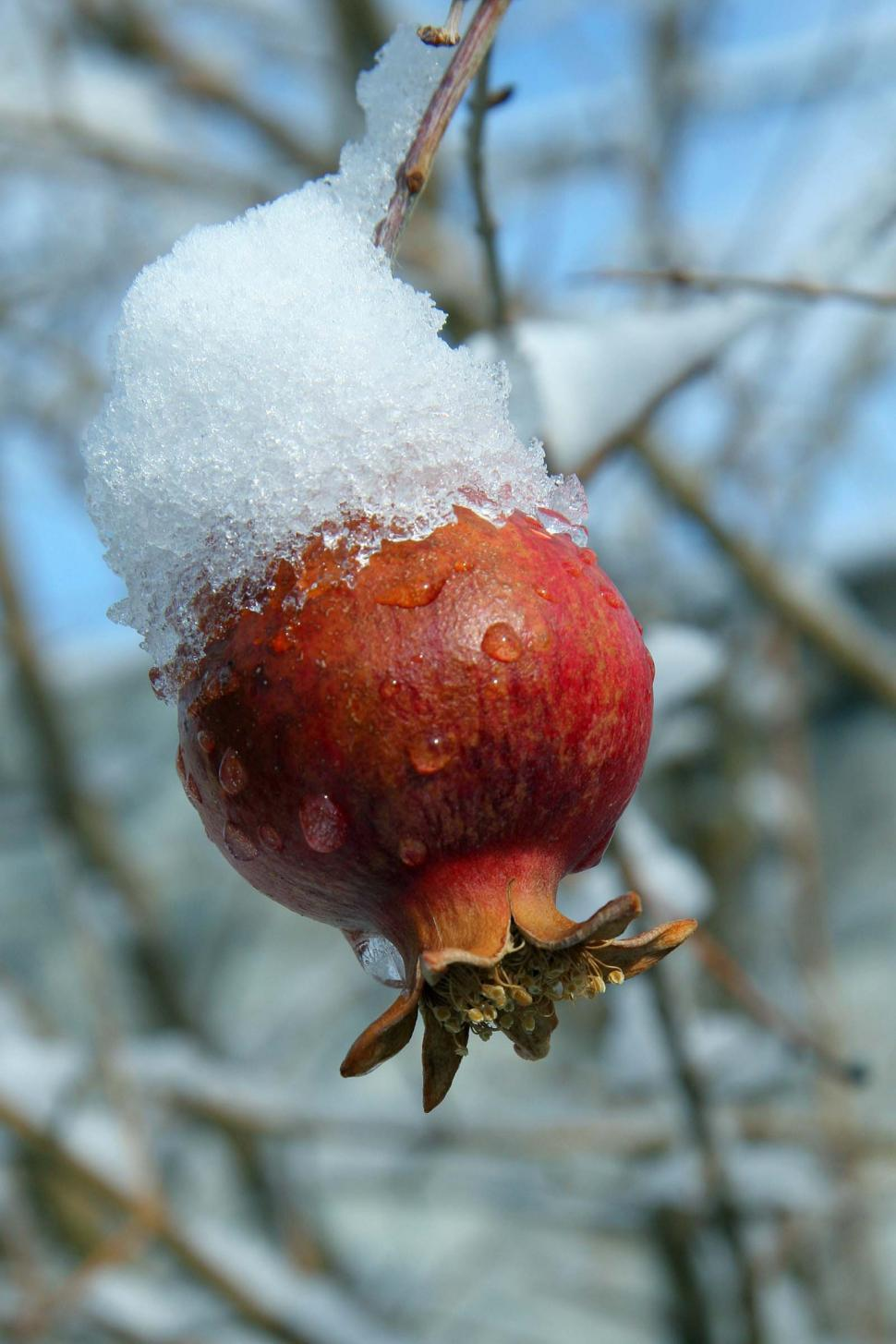 Download Free Stock HD Photo of Pomegranate fruit with snow Online