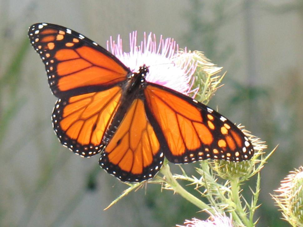 Download Free Stock HD Photo of Monarch Butterfly On Thistle Straight On Online
