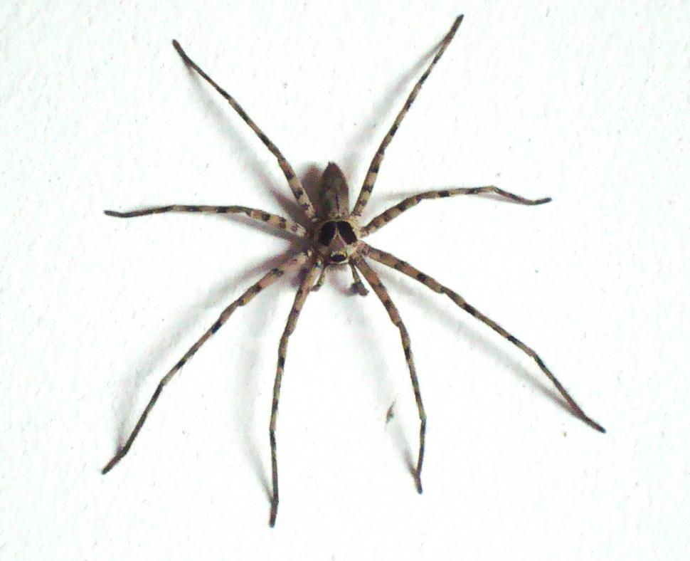 Download Free Stock Photo of Large House Spider