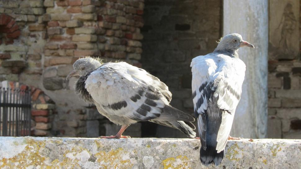 Download Free Stock Photo of Pigeons at Torcello (Venice)
