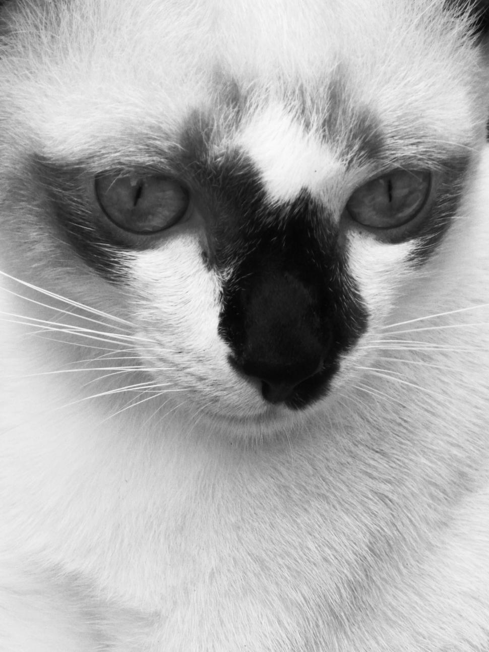Download Free Stock Photo of Burmese Cat B&W