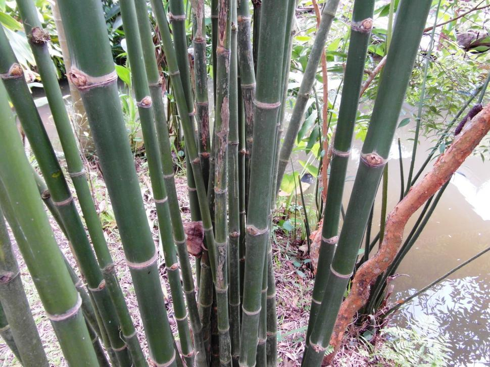 Download Free Stock Photo of Green Bamboo
