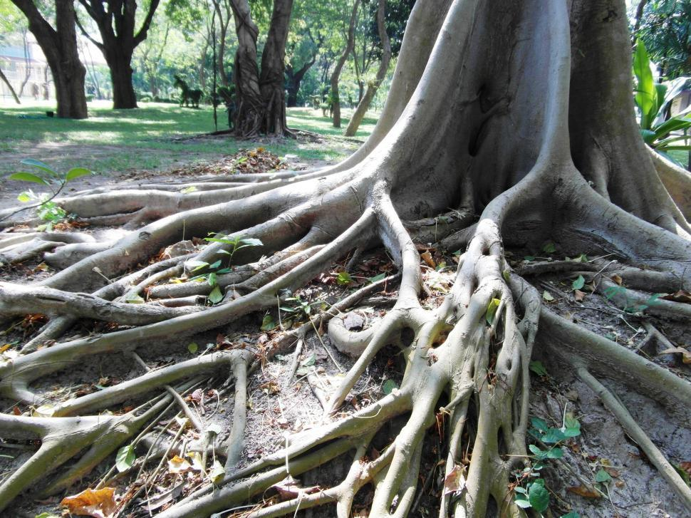 Download Free Stock HD Photo of Long Tropical Tree Roots Online