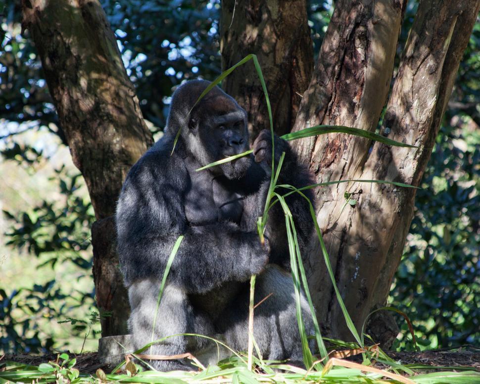 Download Free Stock Photo of Gorilla