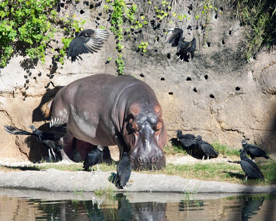 Download Free Stock Photo of Hippo