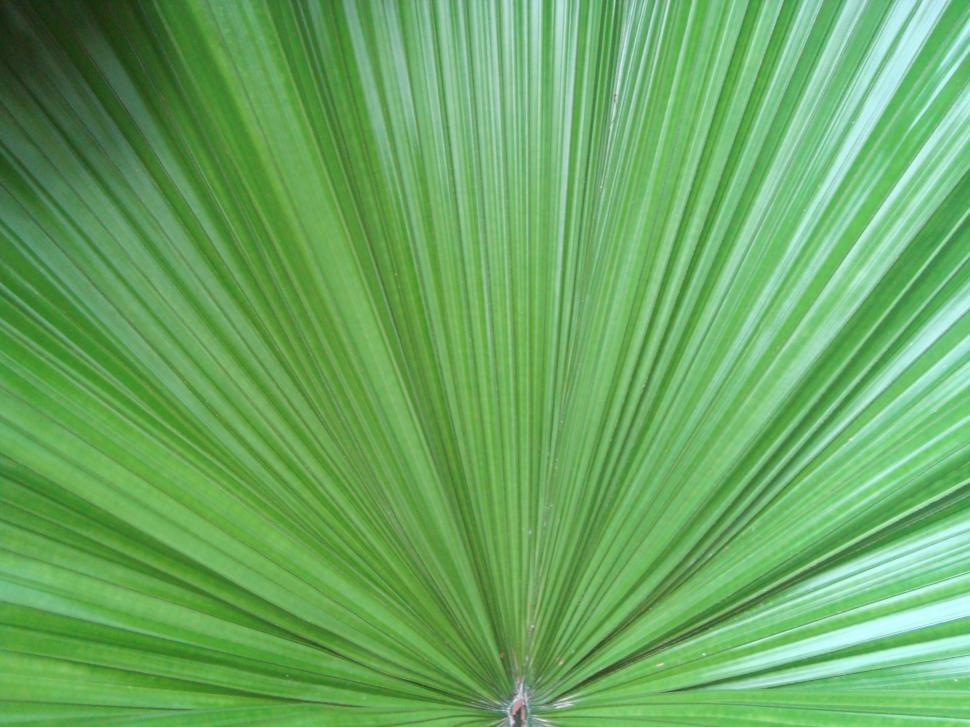 Download Free Stock Photo of Palm Leaf Background