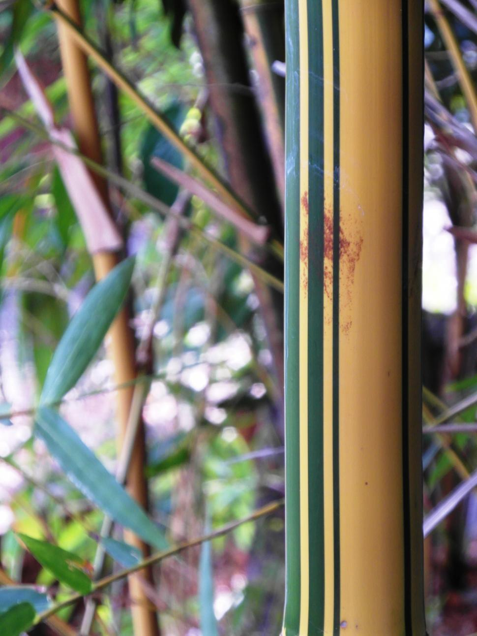 Download Free Stock Photo of Golden Striped Bamboo Detail