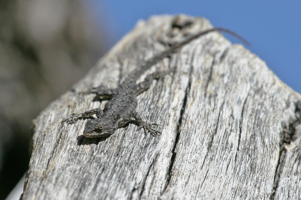 Download Free Stock Photo of Lizard Sunning