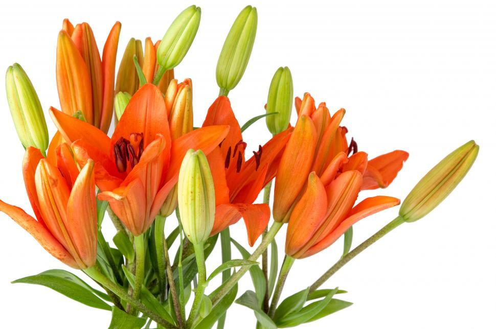 Download Free Stock HD Photo of Lillies Online
