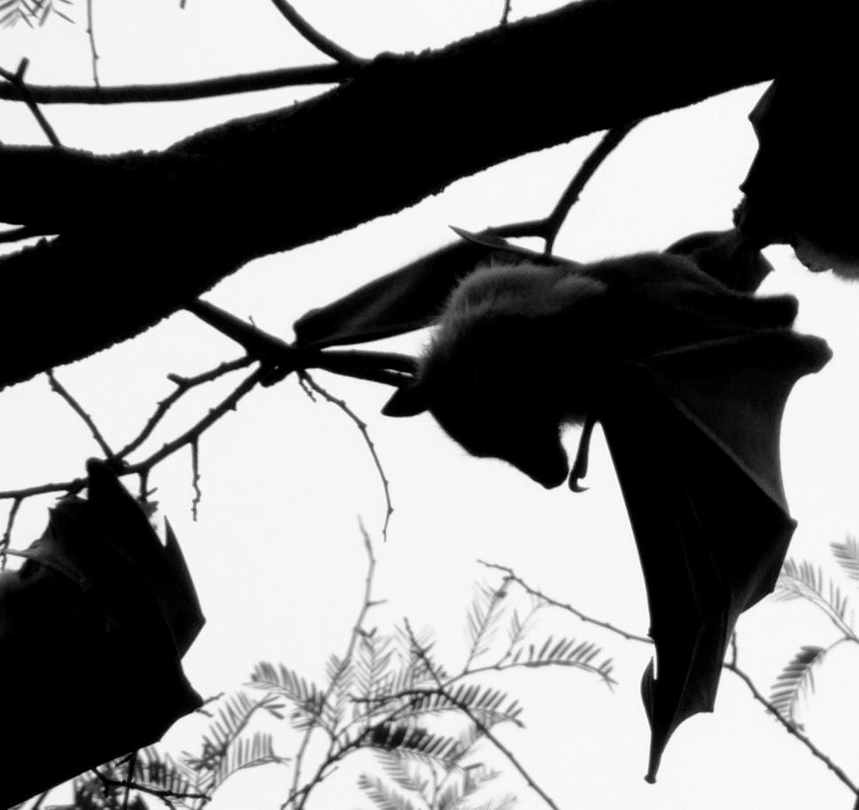Download Free Stock Photo of Bat Silhouette