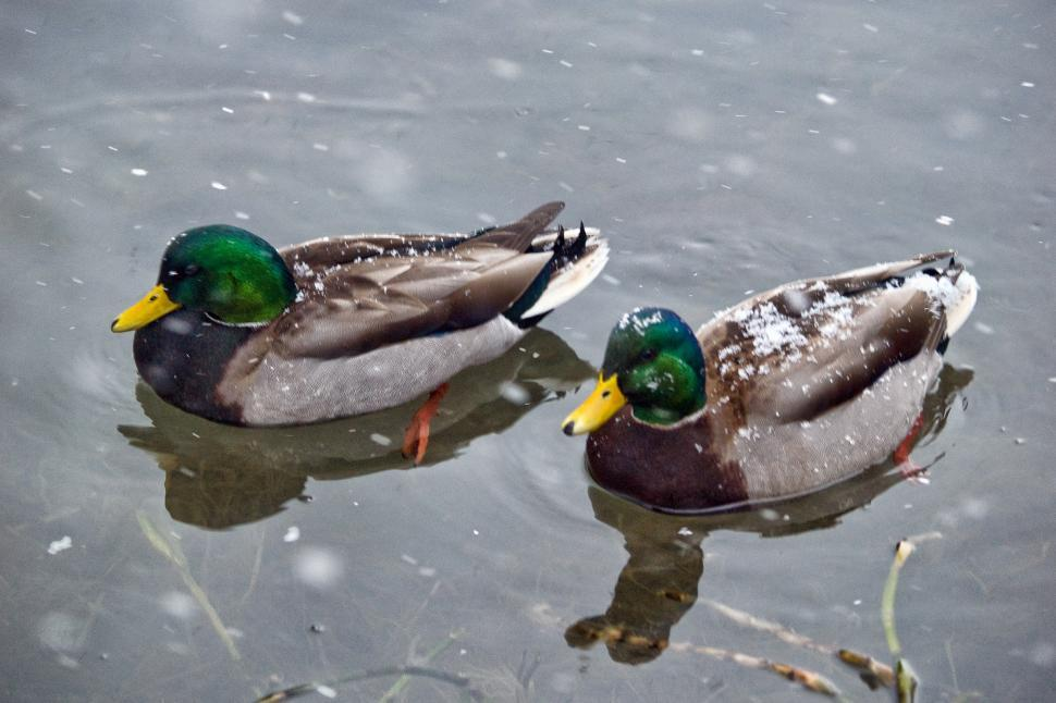 Download Free Stock HD Photo of Duck Online
