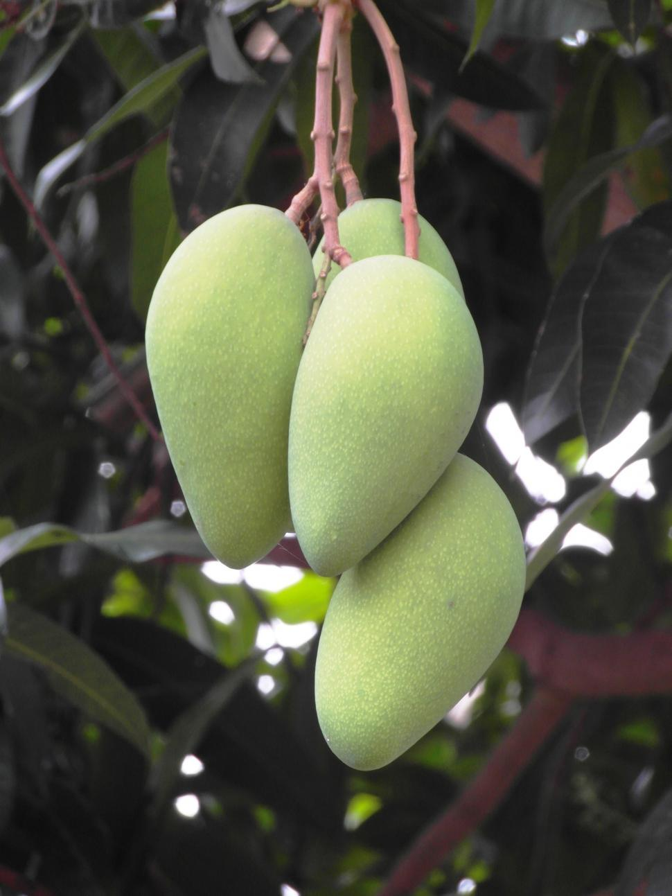 Download Free Stock Photo of Bunch of Mangoes Growing