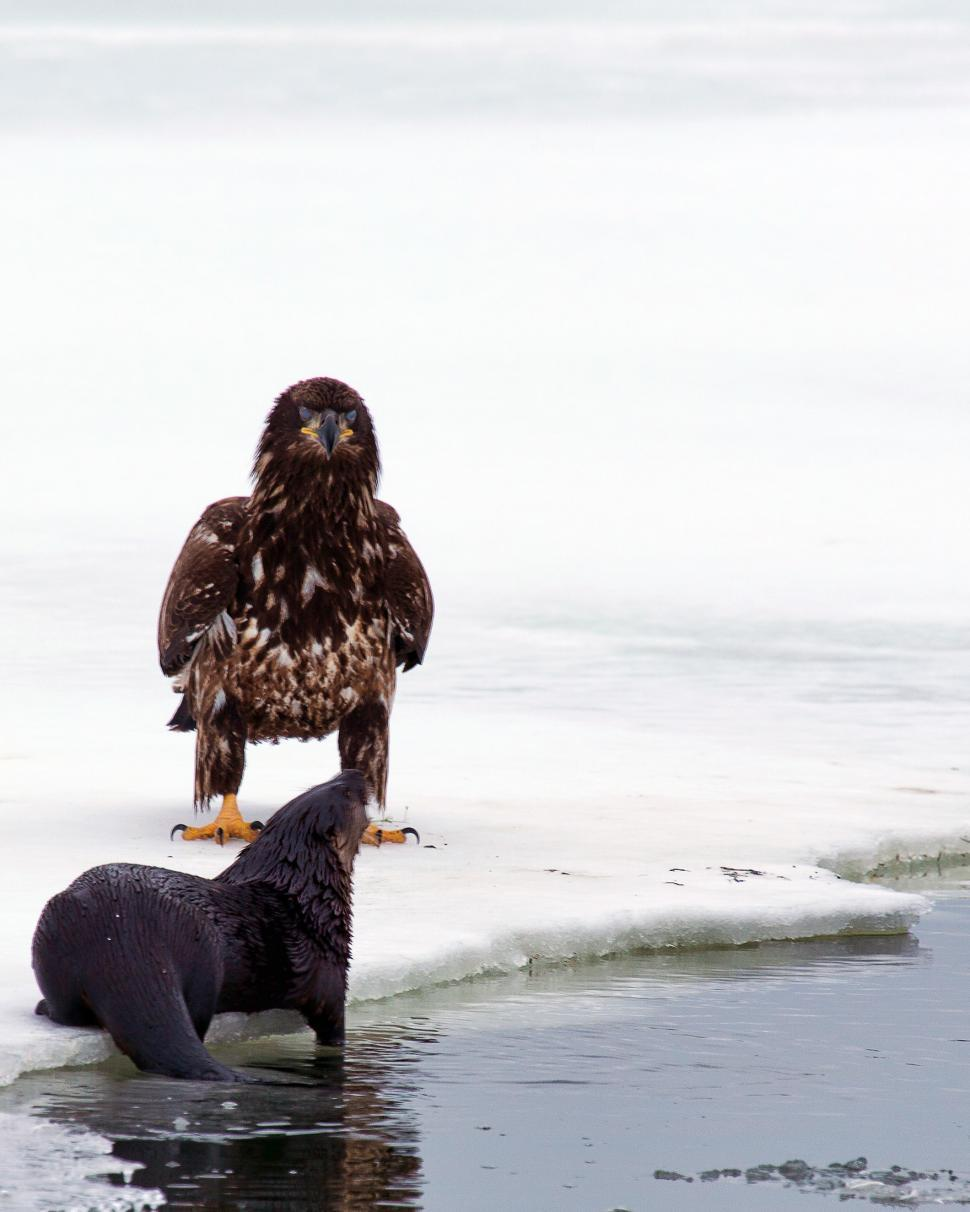 Download Free Stock Photo of Bald Eagle and Otter