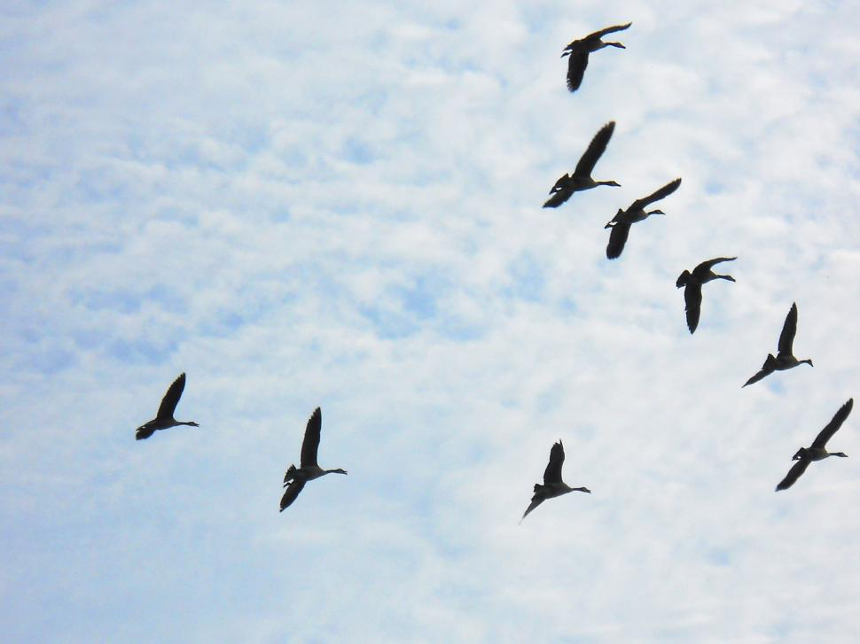 Download Free Stock HD Photo of Canada geese in flight Online