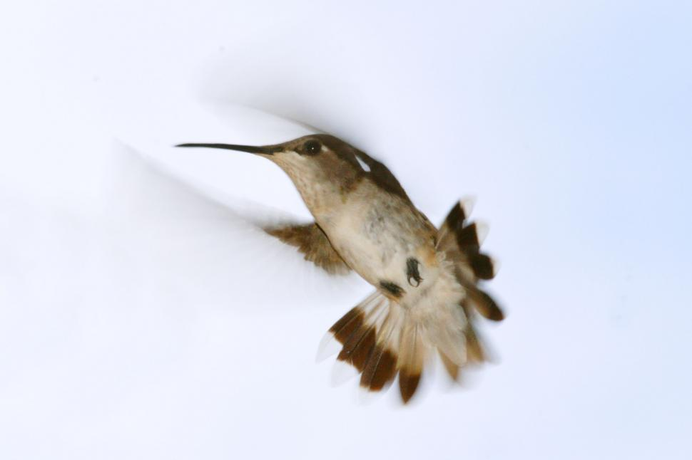 Download Free Stock Photo of hummingbird bird hummer beak feathers flying hovering animal wild flapping blurred fast avian small wings winged feathered little