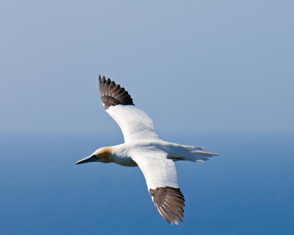 Download Free Stock Photo of Gannet