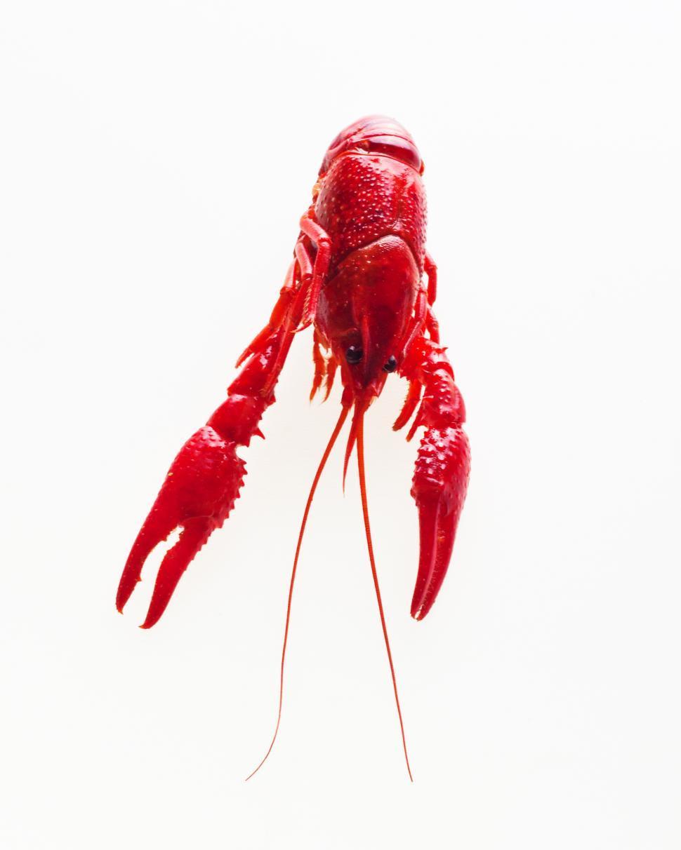 Download Free Stock Photo of Crayfish