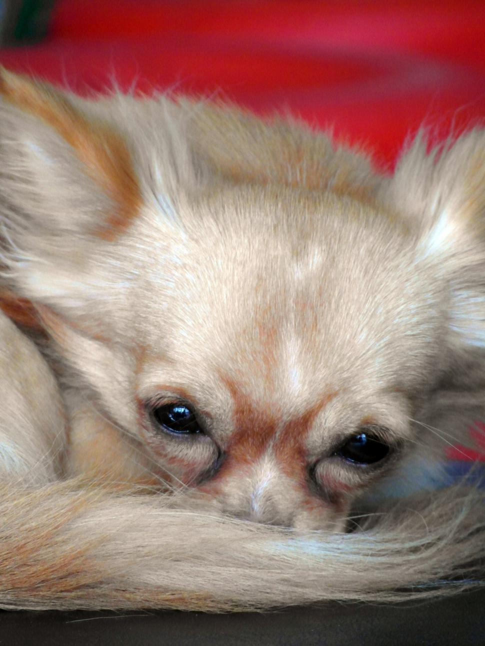 Download Free Stock Photo of Designer Dog