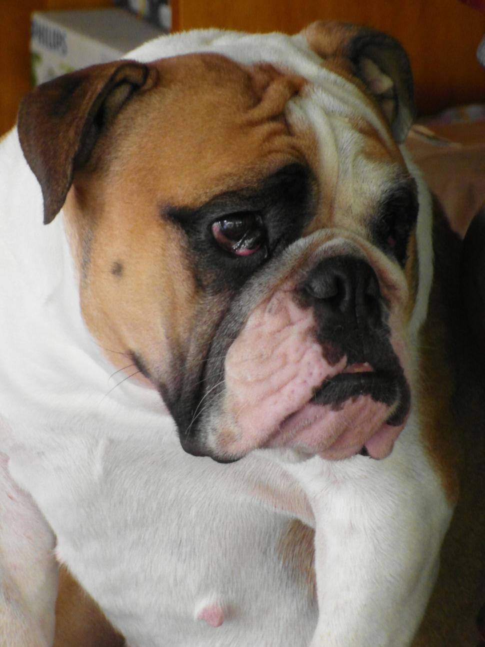 Download Free Stock Photo of Grumpy Bulldog