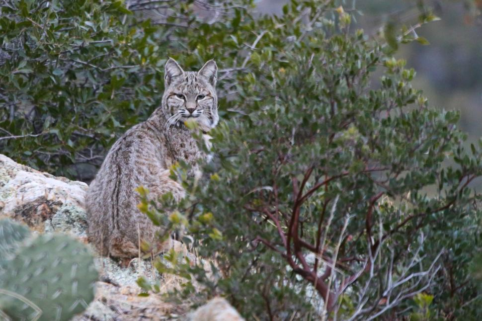 Download Free Stock HD Photo of Bobcat looking at camera Online