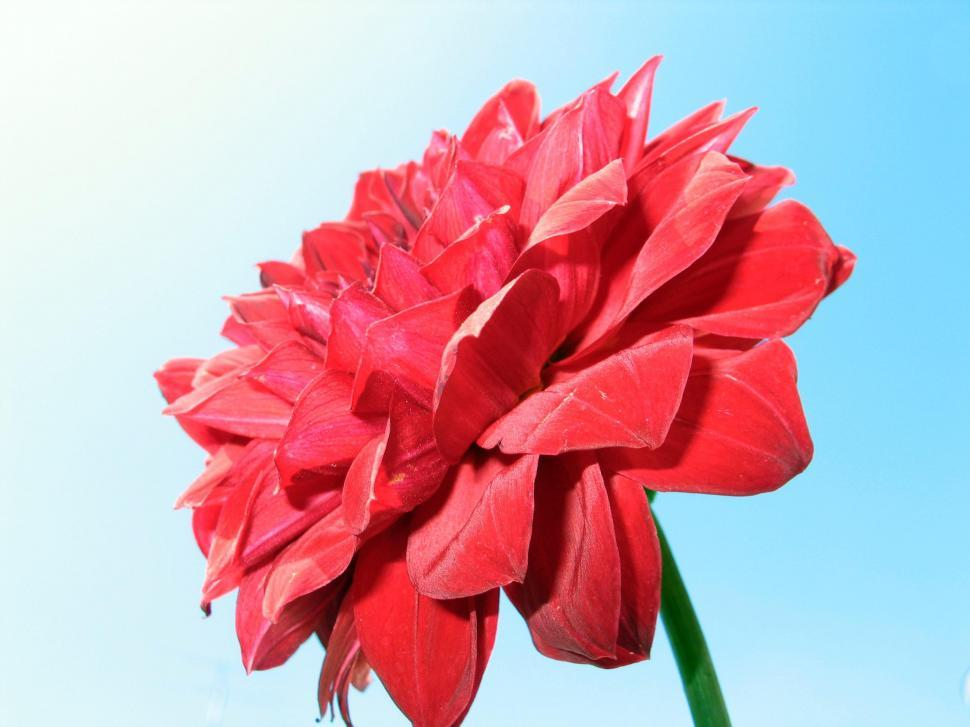 Download Free Stock Photo of Red Flower