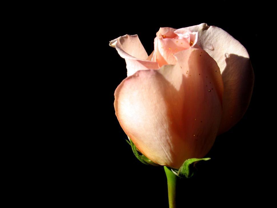 Download Free Stock Photo of Pink Rose