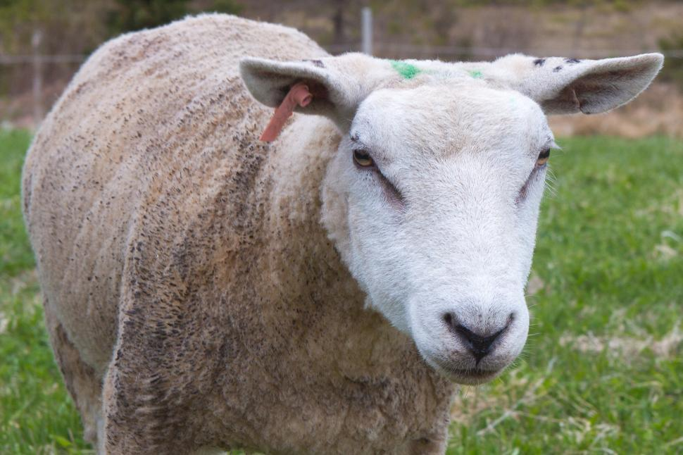 Download Free Stock Photo of Sheep