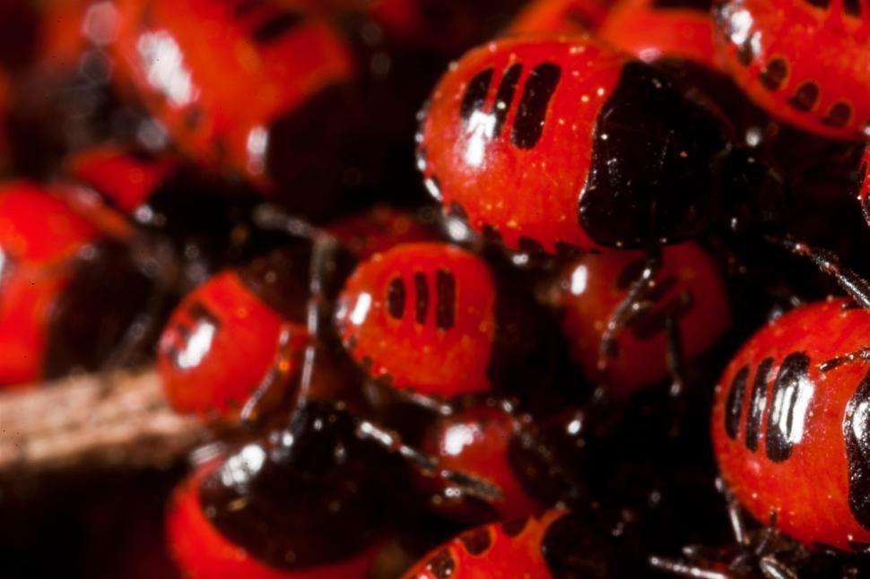 Download Free Stock Photo of Red and Black Beetles