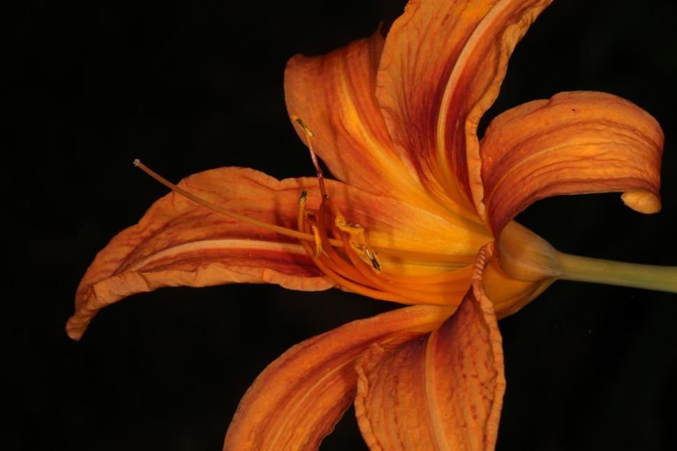 Download Free Stock Photo of Tiger Lily