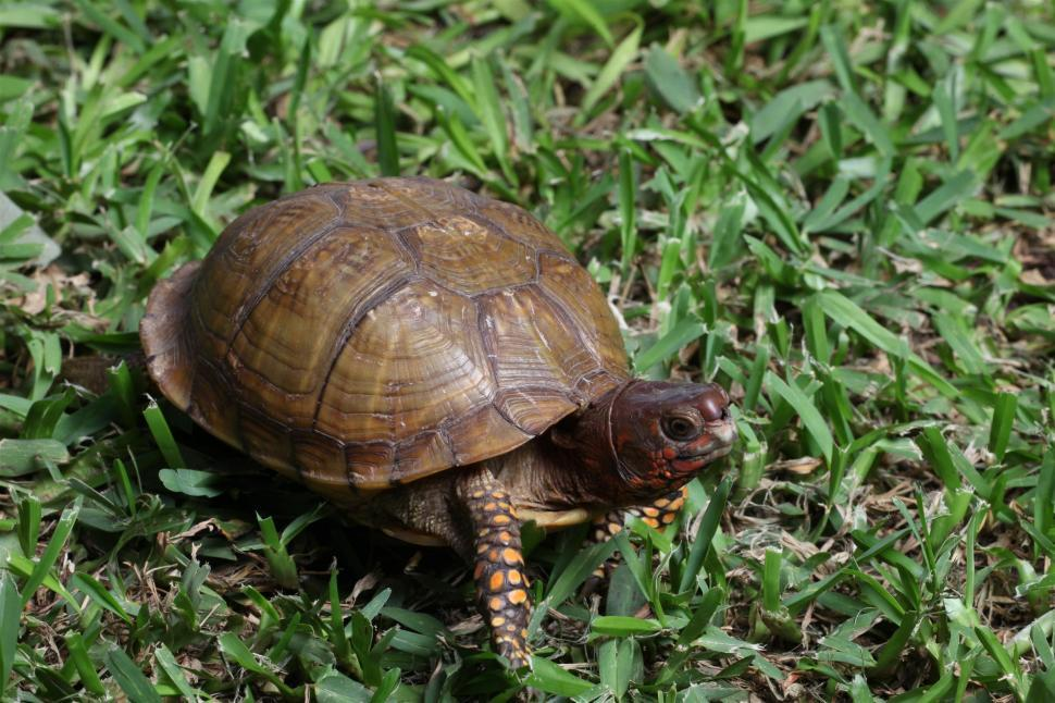 Download Free Stock Photo of Box Turtle