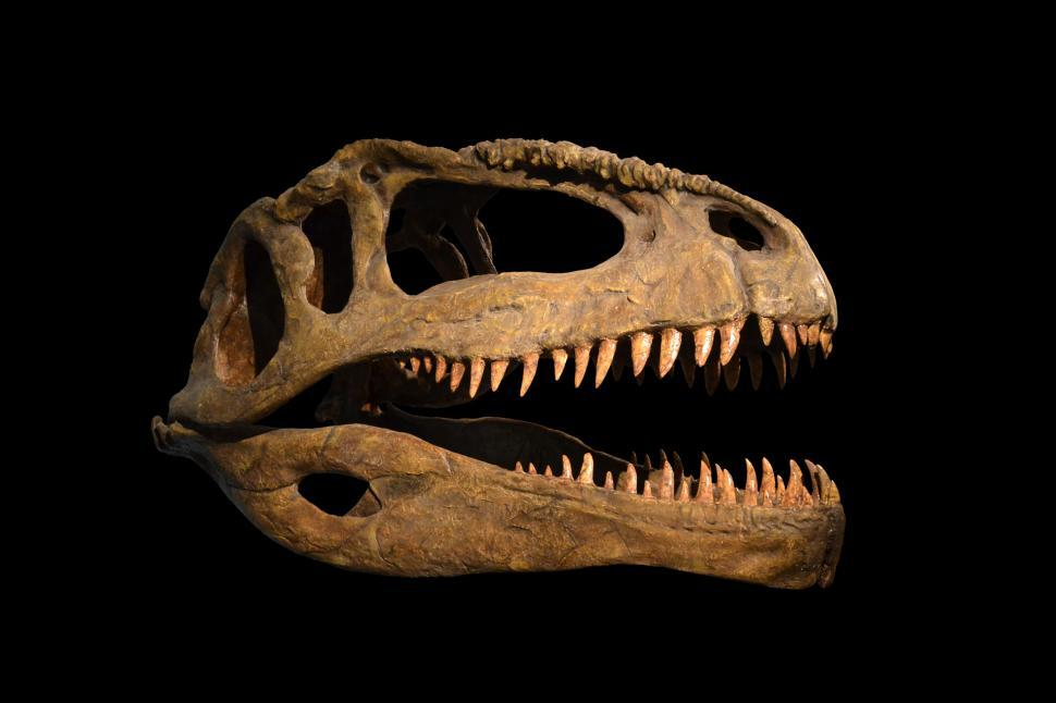 Download Free Stock HD Photo of The skull of dinosaur on white and black background Online